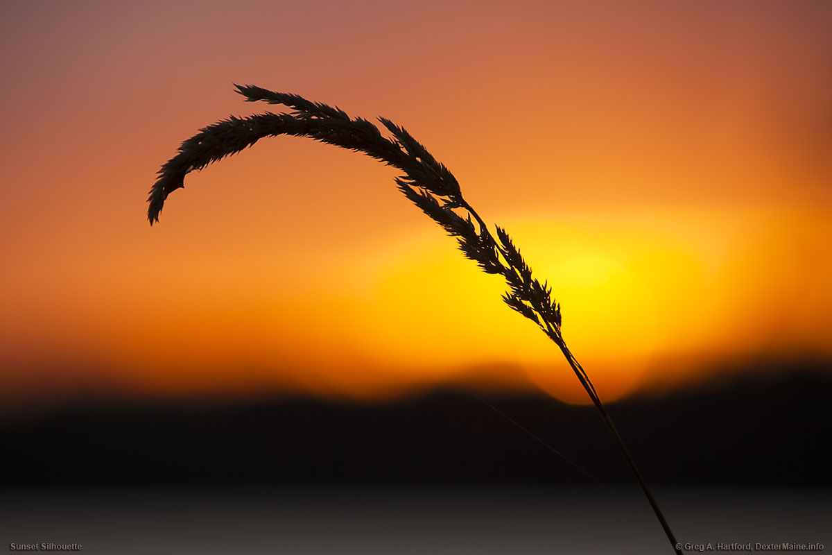 Silhouette of grass at Lake Wassookeag at sunset