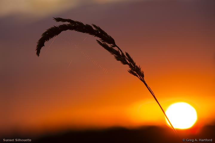 A blade of seeded grass silouetted against the setting sun at Lake Wassookeag, Maine